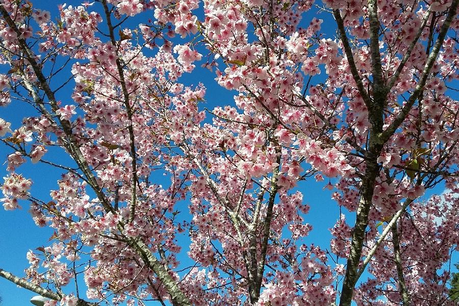 Ipe-rosa-primavera